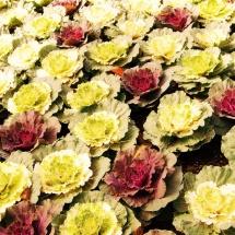 GinaMiranda-Cabbage patch