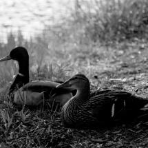 GinaMiranda-Ducks