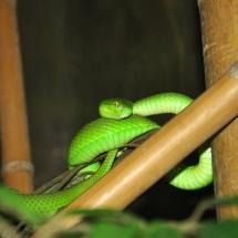GinaMiranda-Green Mamba
