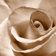 GinaMiranda-A rose