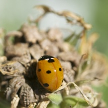 GinaMiranda-Yellow Lady bug