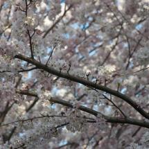 GinaMiranda-Cherry blossoms