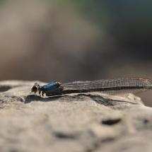 GinaMiranda-Dragonfly